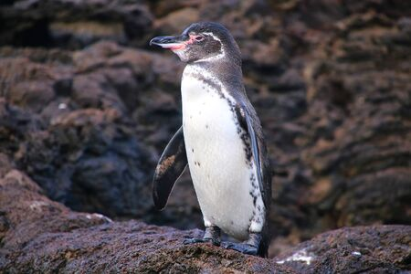 Galapagos Penguin (Spheniscus mendiculus) standing on rocks, Bartolome island, Galapagos National Park, Ecuador. It is the only penguin that lives north of the equator in the wild. Stock Photo