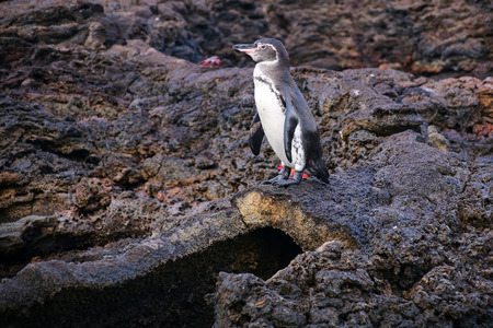 equator: Galapagos Penguin (Spheniscus mendiculus) standing on top of the lava tube on Bartolome island, Galapagos National Park, Ecuador. It is the only penguin that lives north of the equator in the wild.