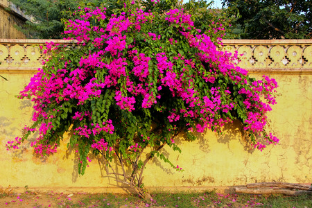 Bougainvillea tree with flowers against yellow wall at  Royal cenotaphs in Jaipur, Rajasthan, India. They were designated as the royal cremation grounds of the mighty Kachhawa dynasty.