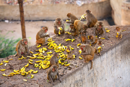troop: Group of Rhesus macaques (Macaca mulatta) eating bananas near Galta Temple in Jaipur, India. The temple is famous for large troop of monkeys who live here.