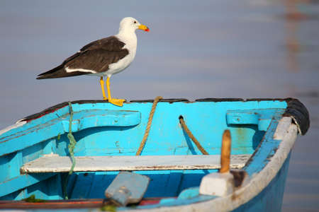 yellow tailed: Belchers Gull on a boat in Paracas Bay, Peru. Paracas Bay is well known for its abundant wildlife.