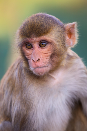troop: Portrait of Rhesus macaque (Macaca mulatta) in Galta Temple in Jaipur, India. The temple is famous for large troop of monkeys who live here.