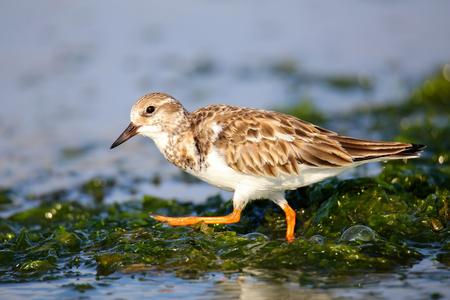 abundant: Ruddy Turnstone (Arenaria interpres) on the beach of Paracas Bay, Peru. Paracas Bay is well known for its abundant wildlife.