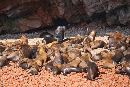 flavescens: Colony of South American sea lions (Otaria flavescens) in Ballestas islands Reserve in Peru. Ballestas islands are an important sanctuary for marine fauna