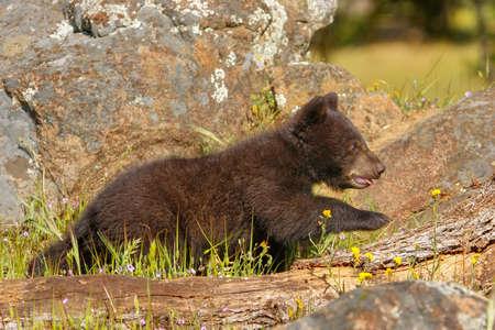 omnivore animal: Baby American black bear (Ursus americanus) walking on rocks