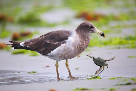 is well known: Belchers Gull (Larus belcheri) eating crab on the beach of Paracas Bay, Peru. Paracas Bay is well known for its abundant wildlife.