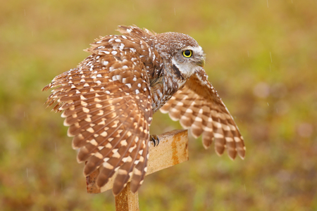 see the usa: Burrowing Owl (Athene cunicularia) spreading wings in the rain Editorial