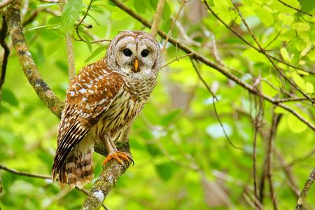 sowa: Puszczyk (Strix varia) siedzi na drzewie. Puszczyk jest najlepiej znany jako sowa prześmieszny swojego charakterystycznego połączenia