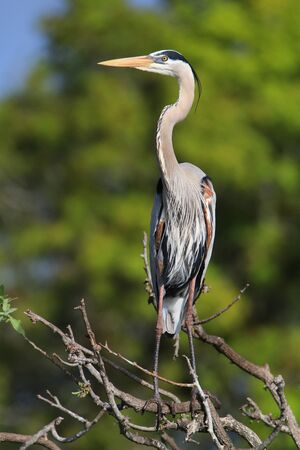 herodias: Great Blue Heron (Ardea herodias) standing on a tree branch. It is the largest North American heron.