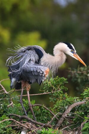 Great Blue Heron (Ardea herodias) ruffling its feathers. It is the largest North American heron. Stock Photo