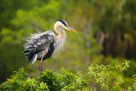 ruffling: Great Blue Heron (Ardea herodias) ruffling its feathers. It is the largest North American heron. Stock Photo