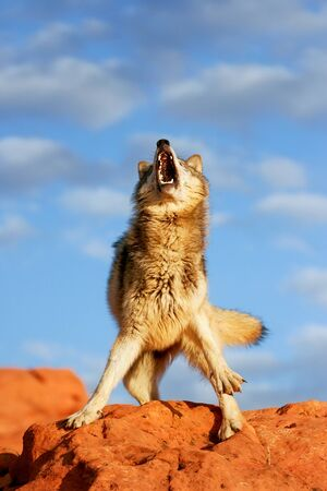 lupus: Gray wolf (Canis lupus) in a desert with red rock formations Stock Photo