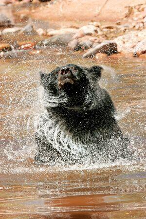 ursus americanus: American black bear (Ursus americanus) shakingin a river