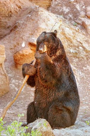 ursus americanus: American black bear (Ursus americanus) playing with a stick