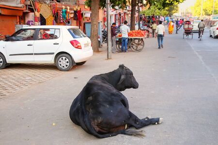 india cow: Black cow lying at Johari Bazzar Street in Jaipur, Rajasthan, India. Cattle is considered sacred in Hinduism.