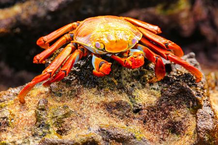 chinese hat: Sally lightfoot crab (Grapsus grapsus) on Chinese Hat island, Galapagos National Park, Ecuador Stock Photo