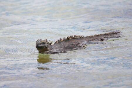 chinese hat: Marine Iguana (Amblyrhynchus cristatus) swimming near Chinese Hat island in Galapagos National Park, Ecuador. This iguana found only on the Galapagos Islands. Stock Photo