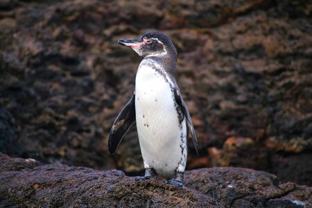 equator: Galapagos Penguin (Spheniscus mendiculus) standing on rocks, Bartolome island, Galapagos National Park, Ecuador. It is the only penguin that lives north of the equator in the wild. Stock Photo
