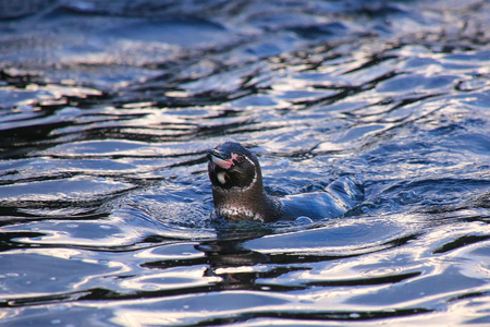 bartolome: Galapagos Penguin (Spheniscus mendiculus) swimming near Bartolome island, Galapagos National Park, Ecuador. It is the only penguin that lives north of the equator in the wild.