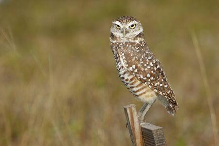 athene: Burrowing Owl (Athene cunicularia) sitting on a wooden pole