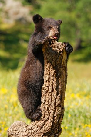 omnivore animal: Baby American black bear (Ursus americanus) playing with a log