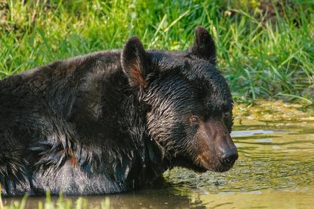 omnivore: Portrait of American black bear (Ursus americanus) swimming Stock Photo
