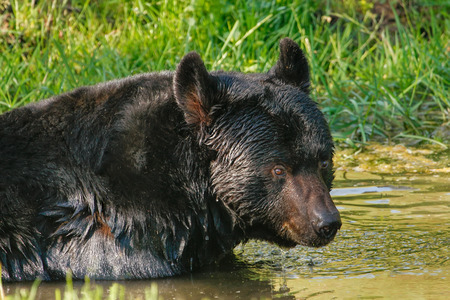 omnivore animal: Portrait of American black bear (Ursus americanus) swimming Stock Photo