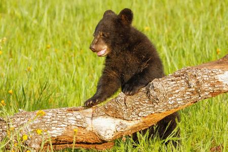 omnivore: Baby American black bear (Ursus americanus) playing with a log