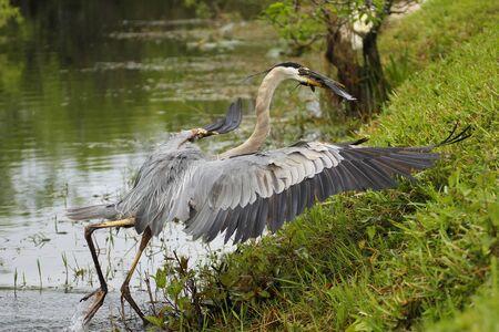 herodias: Great blue heron (Ardea herodias) with a catch