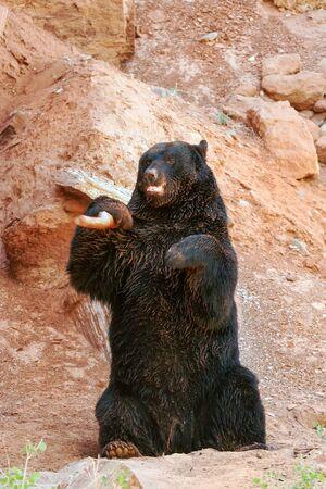omnivore animal: American black bear (Ursus americanus) playing with a stick
