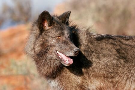canis: Portrait of Gray wolf (Canis lupus) in a desert setting