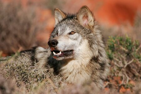 canis: Portrait of Gray wolf (Canis lupus) in a desert