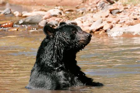omnivore animal: American black bear (Ursus americanus) sitting in a river Stock Photo