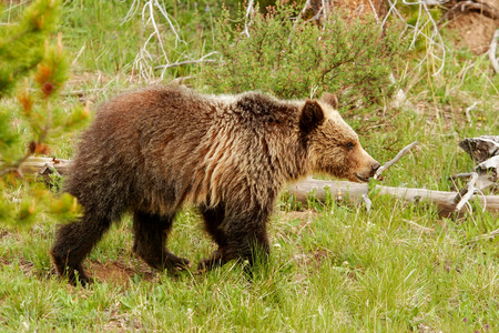 arctos: Young Grizzly bear (Ursus arctos) in Yellowstone National Park, Wyoming Stock Photo
