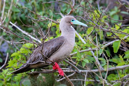 Red-footed booby (Sula sula) on Genovesa island, Galapagos National Park, Ecuador