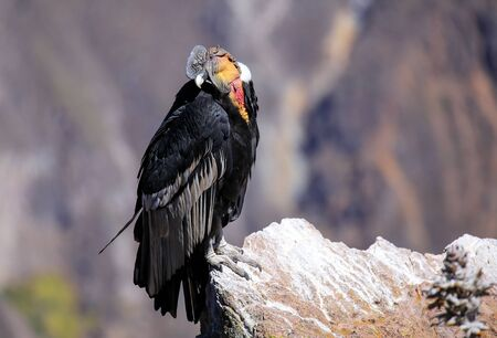 caruncle: Andean Condor (Vultur gryphus) sitting at Mirador Cruz del Condor in Colca Canyon, Peru. Andean condor is the largest flying bird in the world by combined measurement of weight and wingspan