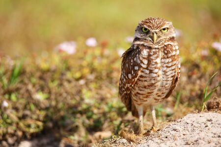burrowing: Burrowing Owl (Athene cunicularia) standing on the ground