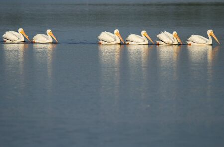 pelicans: White pelicans (Pelecanus erythrorhynchos) in a water Stock Photo