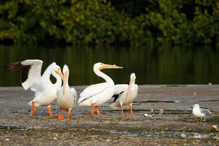 ding: White pelicans (Pelecanus erythrorhynchos) at Ding Darling National Wildlife Refuge Stock Photo