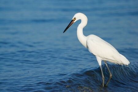 morph: Reddish egret (Egretta rufescens) white morph standing in water Stock Photo