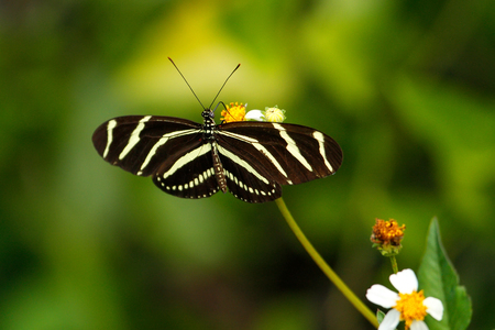 longwing: Zebra Longwing butterfly (Heliconius charithonia) on a flower