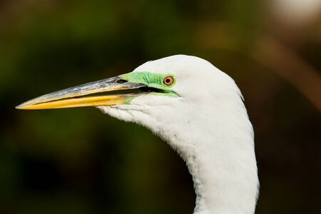 Portrait of Great egret (Ardea alba) in breeding colors