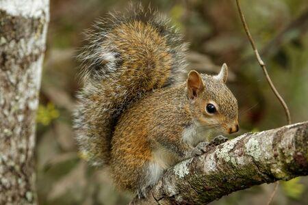 carolinensis: Eastern gray squirrel (Sciurus carolinensis) on a log