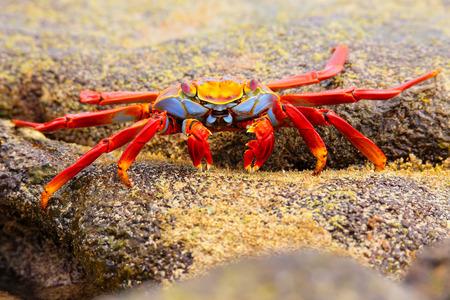 chinese hat: Sally lightfoot crab (Grapsus grapsus) feeding on Chinese Hat island, Galapagos National Park, Ecuador Stock Photo