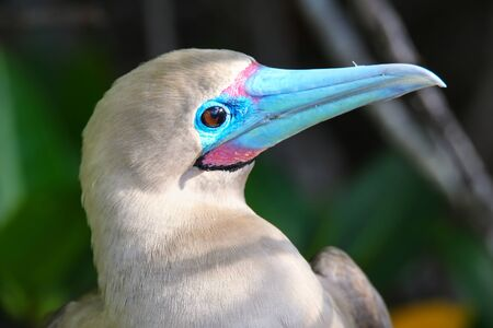 booby: Portrait of Red-footed Booby (Sula sula) on Genovesa island, Galapagos National Park, Ecuador Stock Photo