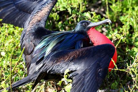 displaying: Male Great Frigatebird (Fregata minor) displaying, Genovesa Island, Galapagos National Park, Ecuador