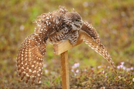 burrowing: Burrowing Owl (Athene cunicularia) spreading wings in the rain Stock Photo