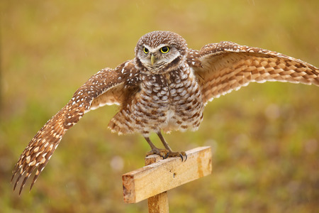 sitting on the ground: Burrowing Owl (Athene cunicularia) spreading wings in the rain Stock Photo