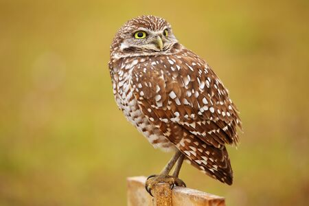 sitting on the ground: Burrowing Owl (Athene cunicularia) sitting on a pole Stock Photo