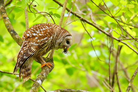 Barred owl (Strix varia) holding crayfish in tis beak. Barred owl is best known as the hoot owl for its distinctive call Stock Photo